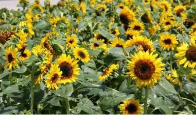 向日葵为什么向太阳转?