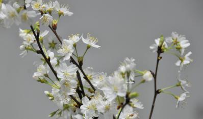 花色最纯正的樱花