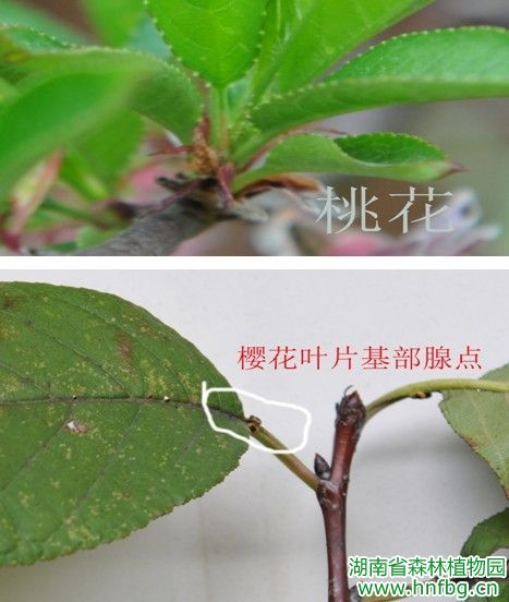 桃花为花朵单个单个着生在花枝上